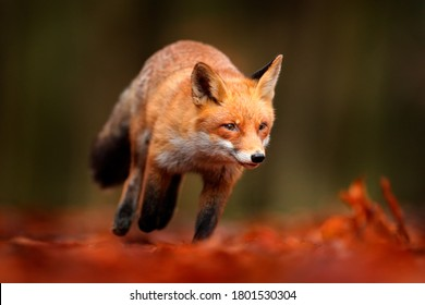 Cute Red Fox, Vulpes vulpes in fall forest. Beautiful animal in the nature habitat. Wildlife scene from the wild nature, Russia, Europe. Cute animal in habitat. Red fox running on orange autumn leaves
