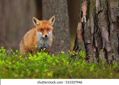 Cute Red Fox, Vulpes vulpes, in green forest. Fox hunting in the forest. Animal in the nature habitat. Wildlife scene from European nature.