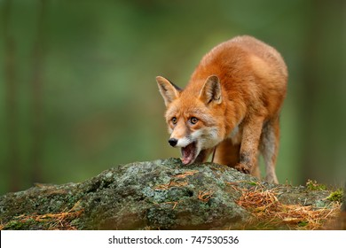 Cute Red Fox, Vulpes vulpes, on the rock in the dark forest. Wildlife scene from nature habitat. Open mouth muzzle.