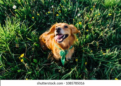 Cute red hair dog with green bandana on neck resting in park on the sunset