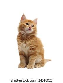 cute red kitten against white background