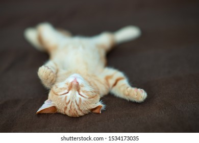Cute red kitten with classic marble pattern sleeps on the back on sofa. Adorable little pet. Cute child animal