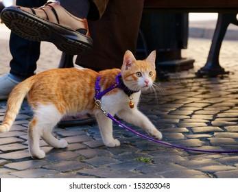 Cute red kitten on a leash walking on a street paving