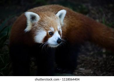 Panda Roux Images Stock Photos Vectors Shutterstock