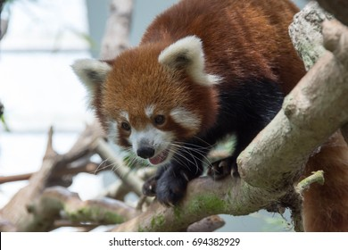 Cute Red panda bear playing on a tree trunk