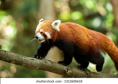 Cute Red Panda in nature during the day