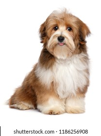 Cute red parti colored havanese puppy dog is sitting and looking at camera, isolated on white background