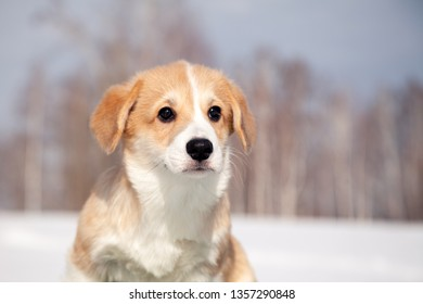 Cute red puppy welsh corgi pembroke walk outdoor, run, having fun in white snow park, winter forest. Concept purebred dogs, champions for sale, lost cur, castration, sterilization