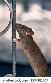 A cute red rat climbs the fence.