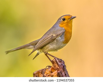Cute red robin (Erithacus rubecula) perched on log with vivid colored background