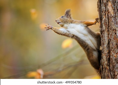 Cute red squirrel on the tree trunk eagerly reaching for what she want most by her paws
