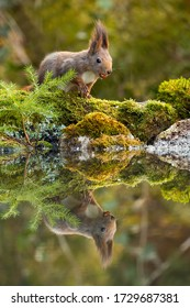 Cute red squirrel, sciurus vulgaris, feeding with nuts on moss covered rocks near water with copy space. Wild animal near fishpond in forest with reflection on water.