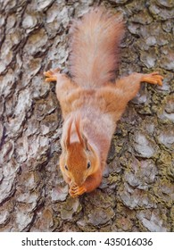 Cute red squirrel sits on the tree and eating in the spring park