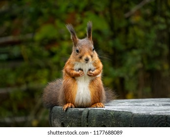 Cute red squirrel sitting on the table