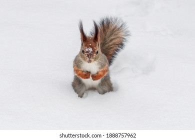 Cute red squirrel sitting in the white snow covered with snowflakes. Beautiful red squirrel in winter.