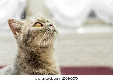Cute red tabby cat looking up at Thailand