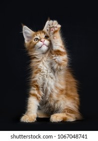 Cute red tabby Maine Coon kitten / cat sitting nd playing isolated on black background and looking at camera with paw high in the air