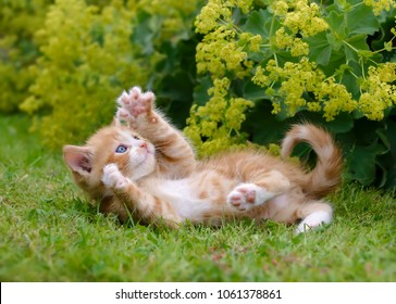 Cute red tabby and white cat kitten playing and showing its claws outside in green grass in a flowery garden