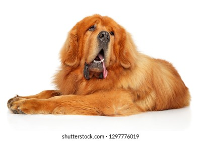Cute red Tibetan Mastiff resting in front of white background. Animal themes