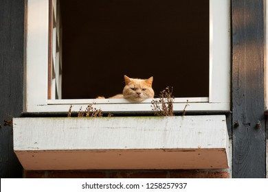 cute red tomcat looks out of an opened window