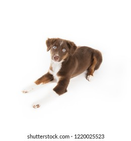 Cute red tri Miniature Australian Shepherd puppy isolated on a white background