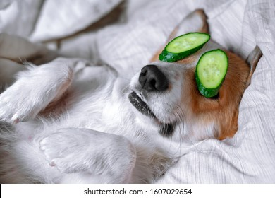 Cute red and white corgi lays on the bed  relaxed from spa procedures on face with cucumber, covered with a towel. Head on the pillow, covered by blanket, paw up.