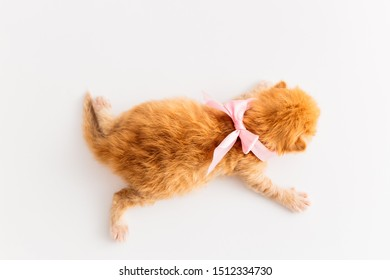 Cute Red and White or Ginger newborn kitten with pink bow on the hand. One and half weeks Little Cat