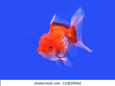 The cute red and white goldfish in competition fish tank. Carassius  auratus , Oranda goldfish is one of the most popular  ornamental fish in the world.