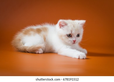 Cute red and white Scottish Straight kitten lying on the orange background