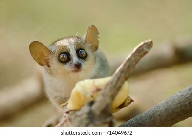 Cute reddish-gray mouse lemur, Microcebus griseorufus, feeding on banana
