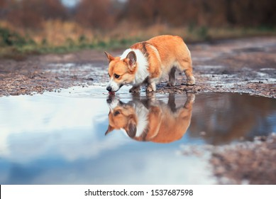 cute redhead Corgi dog stands by a puddle on the road and drinks water reflecting in it in autumn Sunny day