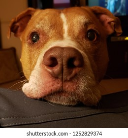Red Nose Pitbull Images Stock Photos Vectors Shutterstock