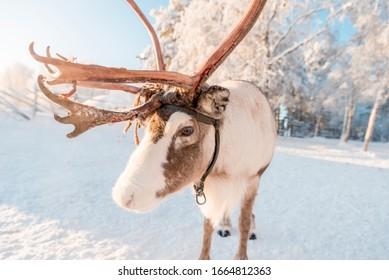 Cute reindeer in winter wonderland in Swedish Lapland