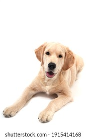 Cute Retriever puppy lies on a white isolated background and looks at camera. copy space. High quality photo