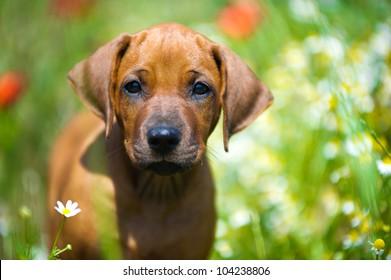 Cute rhodesian ridgeback puppy in a field