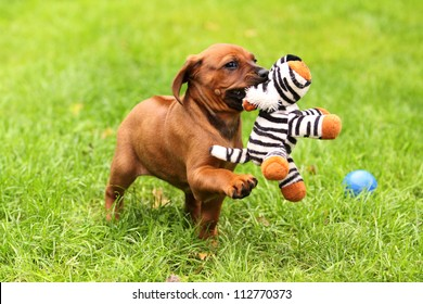 A cute Rhodesian Ridgeback Puppy is playing with a little tiger.