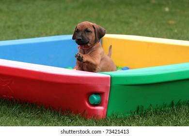 a cute rhodesian ridgeback puppy playing in a box