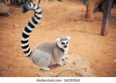 cute ring-tailed lemur
