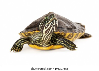 A cute River Cooter Turtle crawling on a white background with selective focus on his face