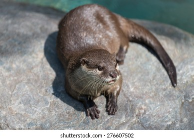 A cute river otter sitting on top of a rock.