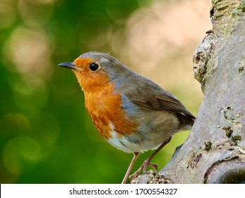 Cute Robin standing on the tree trunk. The European robin, known simply as the robin or robin redbreast in the British Isles, is a small insectivorous passerine bird.