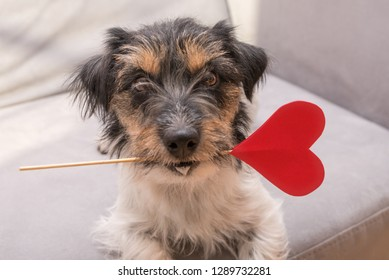 Cute romantic Jack Russell Terrier dog. Lovable dog is holding a heart to the Valentine's Day in the mouth