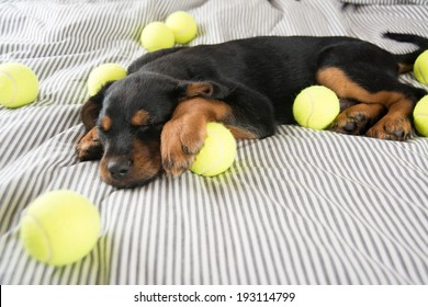 Cute Rottweiler Mix Puppy Sleeping on Striped White and Gray Sheets on Human Bed Surrounded by Tennis Balls