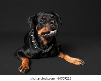 Cute rottweiler portrait