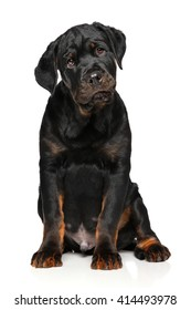 Cute Rottweiler puppy sits in front of white background