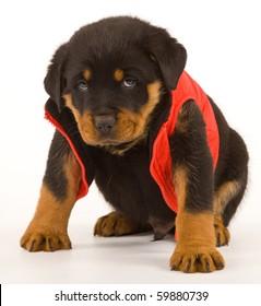 Rottweiler Puppy Images Stock Photos Vectors Shutterstock
