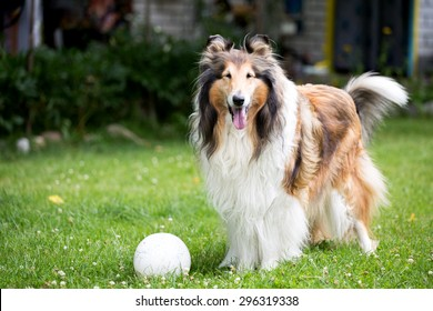 Cute rough collie dog standing on lawn near rubber ball.