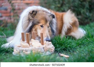 Cute rough collie eaing cake birthday