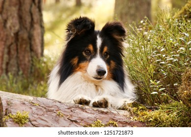 Cute  sable black white shetland sheepdog, sheltie lies outdoors in the forest with background of green grass with flowers. Adorable small collie, little lassie lies outside in summer time