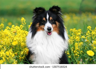 Cute sable black white shetland sheepdog, sheltie sitting outdoors on a field of green grass with meadows blooming  flowers.Adorable small collie, little lassie portrait in summer time with dandelions